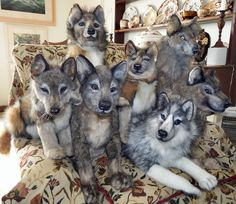 Realistic Wolf Stuffed Animal Pictures Www Picturesboss Com