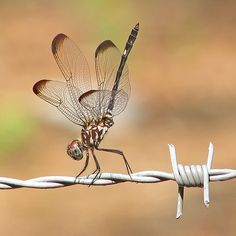 # Setwing dragonfly performing on the highwire (Photo: vickis nature, Creative Commons license). Dragonfly Photos, Dragonfly Insect, Dragonfly Tattoo, Dragonfly Painting, Flying Insects, Bugs And Insects, Fotografia Macro, A Bug's Life, Tier Fotos