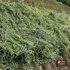 #AlfalfaHay #Hay #eTradePakistan #WholesaleAlfalfahay #feed #wholesaleanimalfeed #Animalfeed Alfalfa Hay, Hay Bales, Herbs, Herb, Medicinal Plants