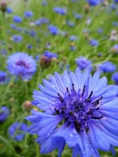 Blue cornflowers