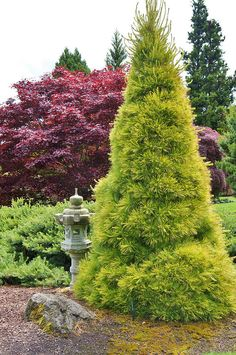 Pinus strobus 'Louie' - strobusmänty