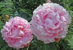 peonies,,, I can't wait any longer on you...