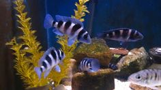 mal/tang fish: Neolamprologus tretocephalus