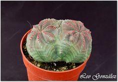 Euphorbia obesa bicefala - Flickr - Photo Sharing!