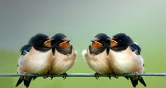 Swallow's meet up.