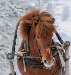 Sleigh Ride … by Viipi, Finland… Horses And Dogs, Animals And Pets, Horse Harness, Snow Days, Mundo Animal, Horse Breeds, Beautiful Horses, Mans Best Friend, Dream Life