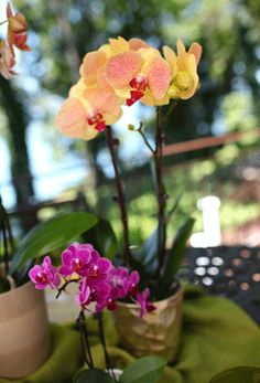 How to care for mini orchids