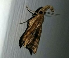 Unknown snout nose moth