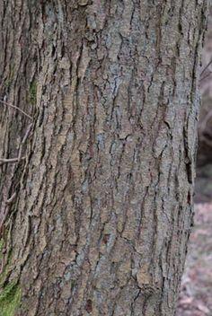 Common Alder, Alnus glutinosa, bark.