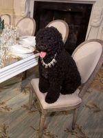 Sunny Obama Is The Most Stylish Dog, Ever Black Presidents, American Presidents, Bo Obama, Barak And Michelle Obama, Obama Photos, Presidente Obama, First Black President, Portuguese Water Dog, Cutest Dog Ever