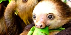 Adorable sloth in its World. #CostaRica #RainForest