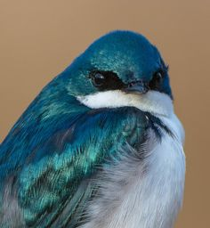 Tree Swallow...notice colors in highlights and shadows on feathers.