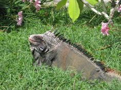 Our garden friend the Iguana on Saba, Dutch Caribbean   #Saba #Caribbean #Iguana