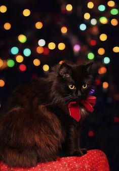 She's so black that it's sometimes.or always hard to photograph her The only white spot is on her chest ^_^ Merry christmas! waiting for Christmas Christmas Tree Themes, Christmas Animals, Christmas Cats, Merry Christmas, Pet Spa, Cat Aesthetic, Black Christmas, Cat Love, Animal Pictures