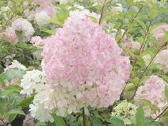 Hydrangea paniculata 'Vanille Fraise' cultivar created by Jean Renault in 2002.