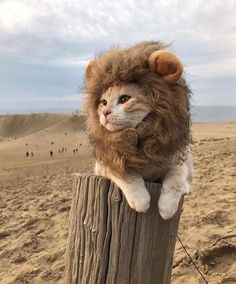 Click the Photo For More Adorable and Cute Cat Videos and Photos - Adorable Cats and Cute Kittens - [post_tags Cute Baby Animals, Funny Animals, Lion Cat, Image Chat, Gatos Cats, Cute Kittens, Cute Cat Gif, Tier Fotos, Cat Costumes