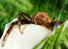 Xysticus cristatus - Common Crab Spiders