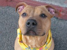 TO BE DESTROYED FRIDAY, 3/14/14  Brooklyn Center - P   My name is BROOKLYN. My Animal ID # is A0993258.  I am a male brown pit bull mix. The shelter thinks I am about 8 MONTHS old.   I came in the shelter as a OWNER SUR on 03/06/2014