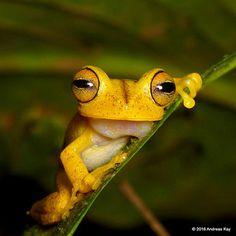 Almendariz's treefrog, Hypsiboas almendarizae | from Reserva… | Flickr
