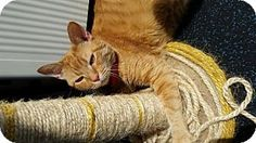 Philadelphia, PA - Domestic Shorthair. Meet Pinella, a cat for adoption. http://www.adoptapet.com/pet/13095323-philadelphia-pennsylvania-cat