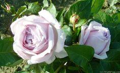 'Bering Renaissance ' Rose Photo