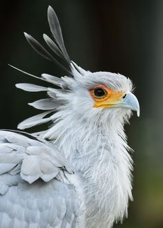 "sdzoo: "" The stylish & beautiful secretary bird by Debbie Beals """