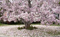 Die Tulpen-Magnolie begeistert im Frühling mit ihren eleganten Blüten und ganzjährig mit ihrem malerischen Wuchs. Hier lesen Sie alles zu Pflanzung und Pflege des schönen Blütengehölzes.