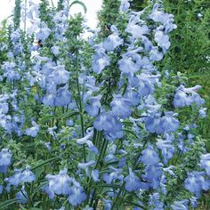Salvia 'Blue September' (available from Select Seeds)