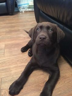 Chocolate Lab, 11weeks