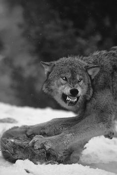 snow winter animals Black and White wolve falling snow angry wolf