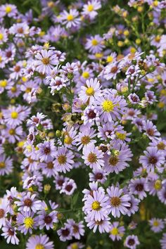 Smooth Aster (Aster laevis)