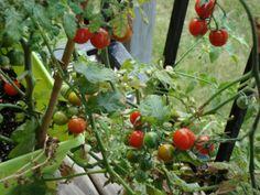 tomates en el balcón