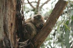 Koala Spotting Along the Great Ocean Road; Melbourne, Australia