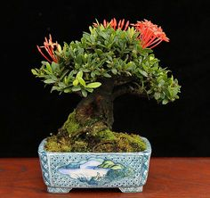 This sweet little shohin bonsai with its unusual flowers and great little Japanese pot is a type of Ixora that belongs to Pedro Morales' cousin Carlos C. via:bonsai_bark Flowering Bonsai Tree, Bonsai Tree Types, Indoor Bonsai Tree, Bonsai Art, Bonsai Plants, Bonsai Garden, Bonsai Trees, Bonsai Soil, Fake Trees