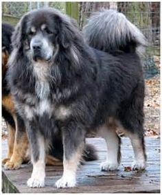 Blue Tibetan Mastiff - Bing Images