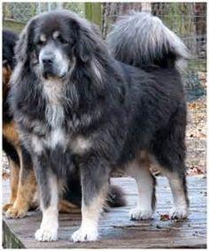 Blue Tibetan Mastiff - Bing Images