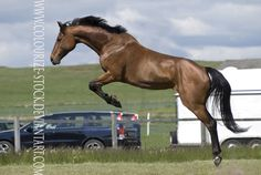 Starlight-W Danish Warmblood Gelding Please download fullsize DO Credit me in description under the picture. If uploadet other place than deviantart on the picture, and have to be with a front big ...