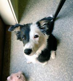 Dani the tricolor Border Collie puppy!