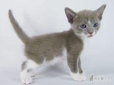 オリエンタルショートヘアーの出産情報 | ブルー&ホワイトの母猫 2014年11月19日生 | 東京猫ハウス