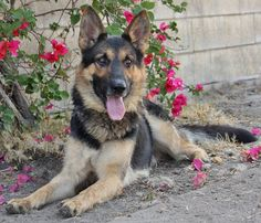 Thunder von Tolsen from Westside German Shepherd Rescue of Los Angeles