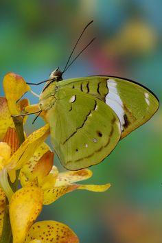 Tropical Butterfly, Nessaea aglaura, Photograph by:  Darrell Gulin