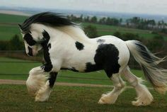 Fully magnificent Clydesdale