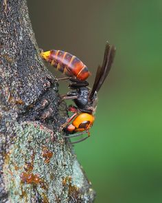 Vespa mandarinia--Asian Giant Hornet.  World's largest hornet, responsible for killing 30-40 people per year in Japan.  Stings by this hornet have killed 41 people and injured more than 1,600 people in China so far in 2013.