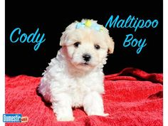 This is Cody our boy Maltipoo who wants to play and cuddle. He is such a love bug. Cody will be lbs. at adult weight. Date Born: