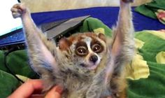 Sean and Ness want a lil furry Slow Loris!