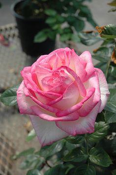 'Rosa 'Princesse De Monaco'| Hybrid Tea Rose