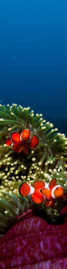 ~A family of orange clown fish in their purple anemone home - also located in The Great Barrier Reef, Far North Queensland, Australia -Photo By Tommy Schultz Underwater Creatures, Underwater Life, Ocean Creatures, Beautiful Ocean, Animals Beautiful, Great Barrier Reef, Fauna Marina, Life Under The Sea, Marine Fish