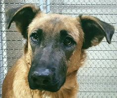 "11/29/16 Dog devastated – family surrenders for being 'too sad' adopts another dog At the Downey Animal Care Center in California, a young female German shepherd, referred to as ""not a happy dog,"" has a tragic tale to share. Brought in to the shelter over the weekend as a stray, she apparently escaped from her family's yard after jumping the fence. Zuzu's heart …"