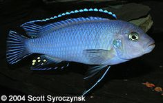 Pseudotropheus socolofi - It is sometimes called the Powder Blue Cichlid. They have been bred extensiviely and many varities differ in coloring, as well as in body shape. The most common difference seen in the hobby is the lack of the black submarginal band in the dorsal fin which belongs to the races from Mara Point and Tumbi Point. Gorgeous specimen!