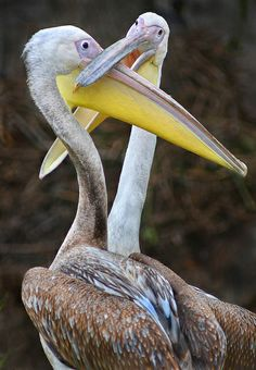 Two Great White Pelicans
